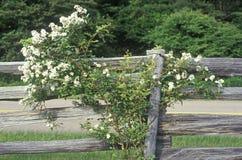 Flores en la floración en la cerca de madera, Ridge Mountains azul, impulsión del horizonte, VA imagen de archivo libre de regalías