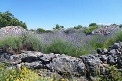 Flores en la isla croata Hvar Imagen de archivo libre de regalías
