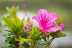 Flores en la isla del sao Miguel Foto de archivo libre de regalías
