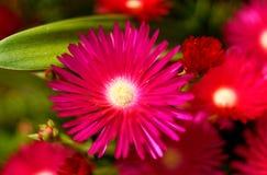 Flores en la isla del sao Miguel Imagen de archivo