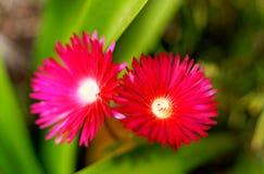 Flores en la isla del sao Miguel Fotografía de archivo