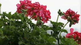 Flores en la lluvia almacen de metraje de vídeo