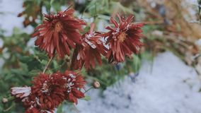 Flores en la nieve almacen de video