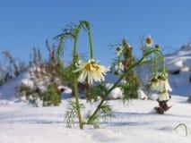 Flores en la nieve Fotos de archivo