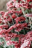 Flores en la nieve Crisantemos en la nieve foto de archivo