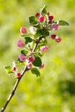 Flores en la rama del árbol frutal Fotos de archivo libres de regalías