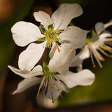 Flores en la rama del árbol frutal Imagen de archivo libre de regalías