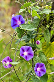 Flores en la vid Imagenes de archivo