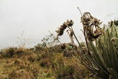 Flores en las parameras de Sumapaz, Colombia Foto de archivo libre de regalías