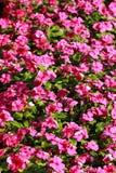 Flores en macizo de flores Foto de archivo libre de regalías