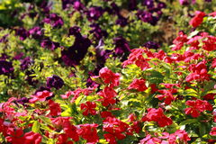 Flores en macizo de flores Fotos de archivo