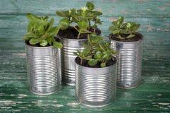Flores en potes de latas Imágenes de archivo libres de regalías