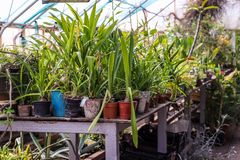 Flores en potes en el invernadero Imagenes de archivo