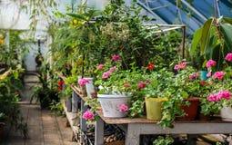 Flores en potes en el invernadero Foto de archivo libre de regalías