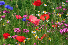 Flores en prado Foto de archivo libre de regalías
