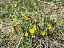 Flores en primer floreciente del farfara del tussilago del coltsfoot de la primavera temprana con el foco selectivo del fondo del Imagen de archivo libre de regalías