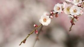 Flores en series de la primavera: el ciruelo blanco que florece en brisa, enfoca en el vídeo, cercano encima de la visión, 4K pel almacen de metraje de vídeo