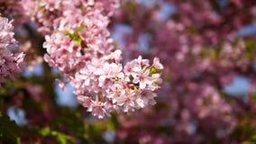 Flores en series de la primavera: flores de las flores de la cereza en pequeños racimos en una rama del cerezo en brisa con el fo almacen de video