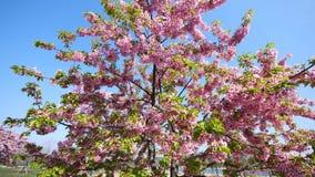 Flores en series de la primavera: flores de las flores de la cereza en pequeños racimos en una rama del cerezo en brisa con el fo metrajes
