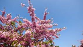 Flores en series de la primavera: flores de las flores de la cereza en peque?os racimos en una rama del cerezo en brisa con el fo metrajes