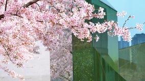 Flores en series de la primavera: Flores de las flores de la cereza en rama del cerezo y los pétalos de las flores de la cereza q metrajes