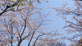 Flores en series de la primavera: Flores de las flores de la cereza en rama del cerezo y los pétalos de las flores de la cereza q almacen de metraje de vídeo