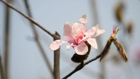 Flores en series de la primavera: Flores de las flores rosadas de la magnolia en brisa Árbol floreciente en la primavera, abeja d almacen de video