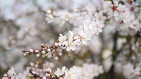 Flores en series de la primavera: Los flores de las flores japonesas de la cereza del arbusto en pequeños racimos en brisa, se ci almacen de metraje de vídeo