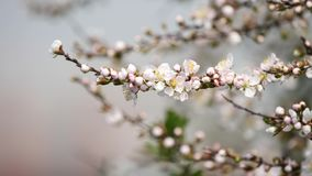 Flores en series de la primavera: Los flores de las flores japonesas de la cereza del arbusto en pequeños racimos en brisa, se ci almacen de video