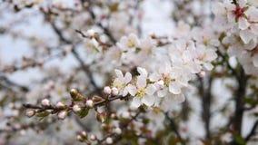 Flores en series de la primavera: Los flores de las flores japonesas de la cereza del arbusto en pequeños racimos en brisa, se ci metrajes