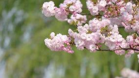 Flores en series de la primavera: vista ascendente cercana de flores de las flores de la cereza en pequeños racimos en una rama  almacen de metraje de vídeo