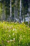 Flores en un bosque del abedul Fotografía de archivo libre de regalías