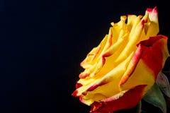 Flores en un fondo negro Fotos de archivo libres de regalías