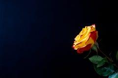Flores en un fondo negro Fotografía de archivo libre de regalías