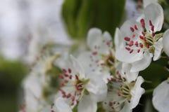 Flores en un manzano Foto de archivo libre de regalías