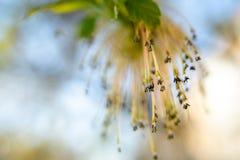 Flores en una rama de un ?rbol de tilo imagen de archivo libre de regalías