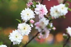 Flores enanas y abeja de la cereza floreciente Imagen de archivo libre de regalías