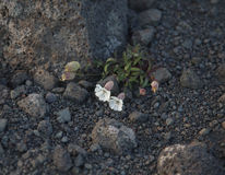 Flores entre las rocas imágenes de archivo libres de regalías