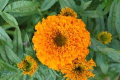Flores - erecta de los tagetes Imagen de archivo