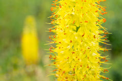 Flores Eremurus Fotografia de Stock Royalty Free