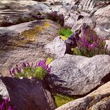 Flores escandinavas nas rochas Foto de Stock Royalty Free