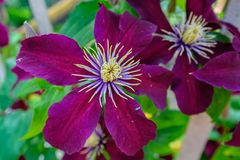 Flores escuras da clematite roxa fotos de stock