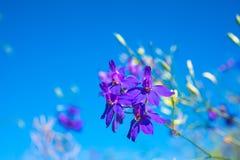 flores Escuro-azuis no céu azul claro Foto de Stock