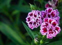 Flores escuro-roxas brancas no jardim Fotografia de Stock
