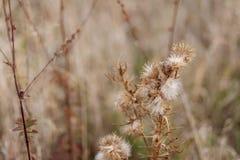 Flores espinosas secas en un campo en otoño Cardo Fondo borroso naturaleza Profundidad del campo baja Imagen entonada Copie el es foto de archivo libre de regalías