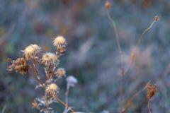 Flores espinosas secas en un campo en otoño Fondo borroso naturaleza Cardo Profundidad del campo baja Imagen entonada azul Copie  imagenes de archivo