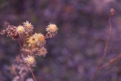 Flores espinosas secas en un campo en otoño Fondo borroso naturaleza Cardo Profundidad del campo baja Imagen entonada p?rpura Cop fotografía de archivo libre de regalías