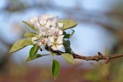 Flores europeas de la pera Fotos de archivo libres de regalías