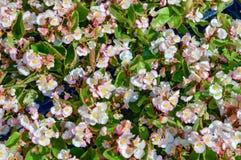 Flores everblooming blancas y rosadas de la begonia Foto de archivo