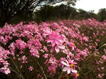 Flores - Everlastings Foto de archivo